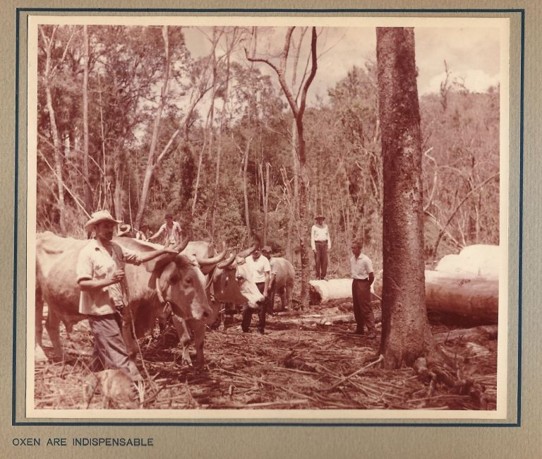 Paraná Pine, An Album of 33 Original Photos of the Logging, Sawmill, and Shipping Operations of M. Lepper & Cia., in Santa Catarina, Brazil. BRAZIL, LOGGING, DEFORESTATION.