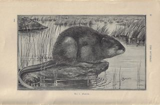 The Muskrat (U.S.D.A. Farmers' Bulletin 396). David E. Lantz