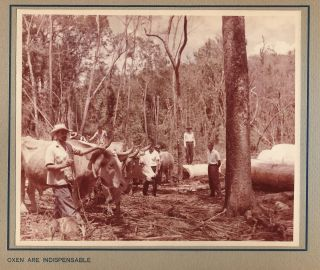 Paraná Pine, An Album of 33 Original Photos of the Logging, Sawmill, and Shipping Operations of...