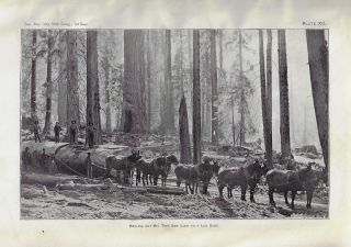 Report on the Big Trees of California, Prepared in the Division of Forrestry, U.S. Department of...
