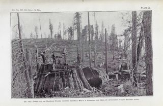Report on the Big Trees of California, Prepared in the Division of Forrestry, U.S. Department of Agriculture